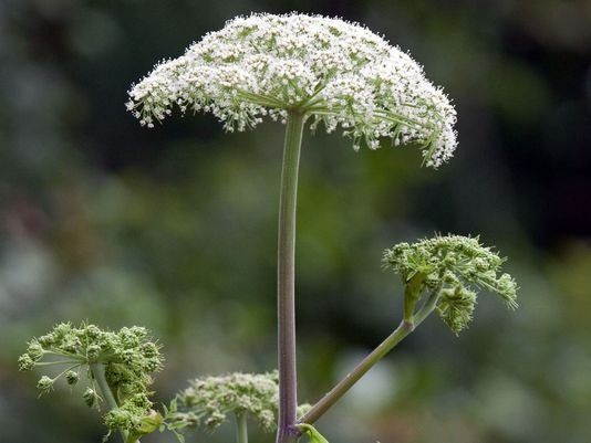 hogweed-nystate-department-of-envconservation.jpg