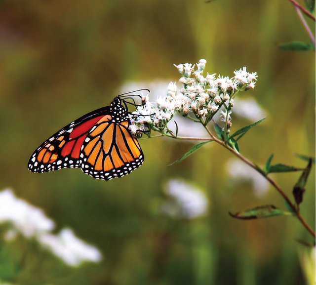 monarch-butterfly-garden-plants.png
