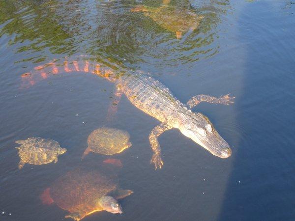 Alligator and turtiels at Dauphin Island's Audubon Sanctuary.