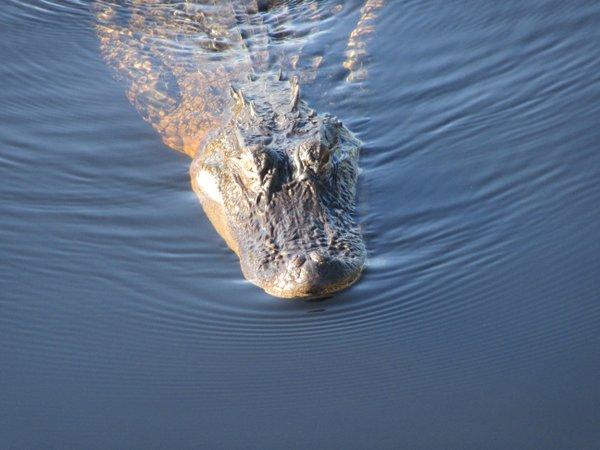 Alligator at Dauphin Island's Audubon Sanctuary.