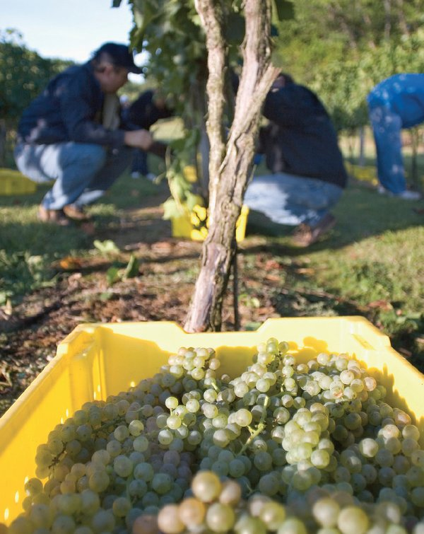 volunteer-at-a-vineyard-northern-virginia.png