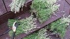 white lavender harvest.jpg