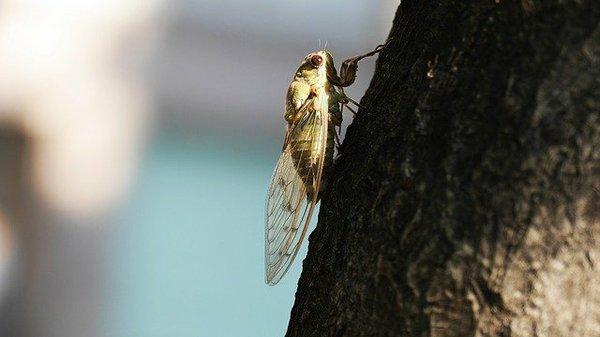 young-cicada-cooking-broodx-2021-pixabay.jpeg