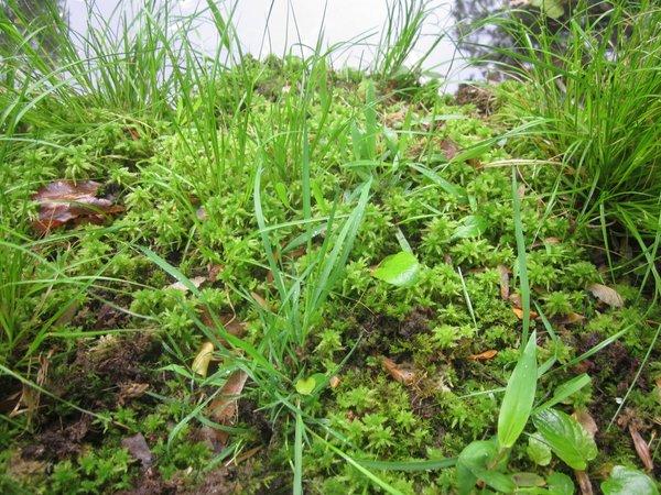Beatley Bog with Sphagnum moss-RHS.jpeg