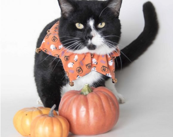 Animal Welfare League of Alexandria Cat.jpeg